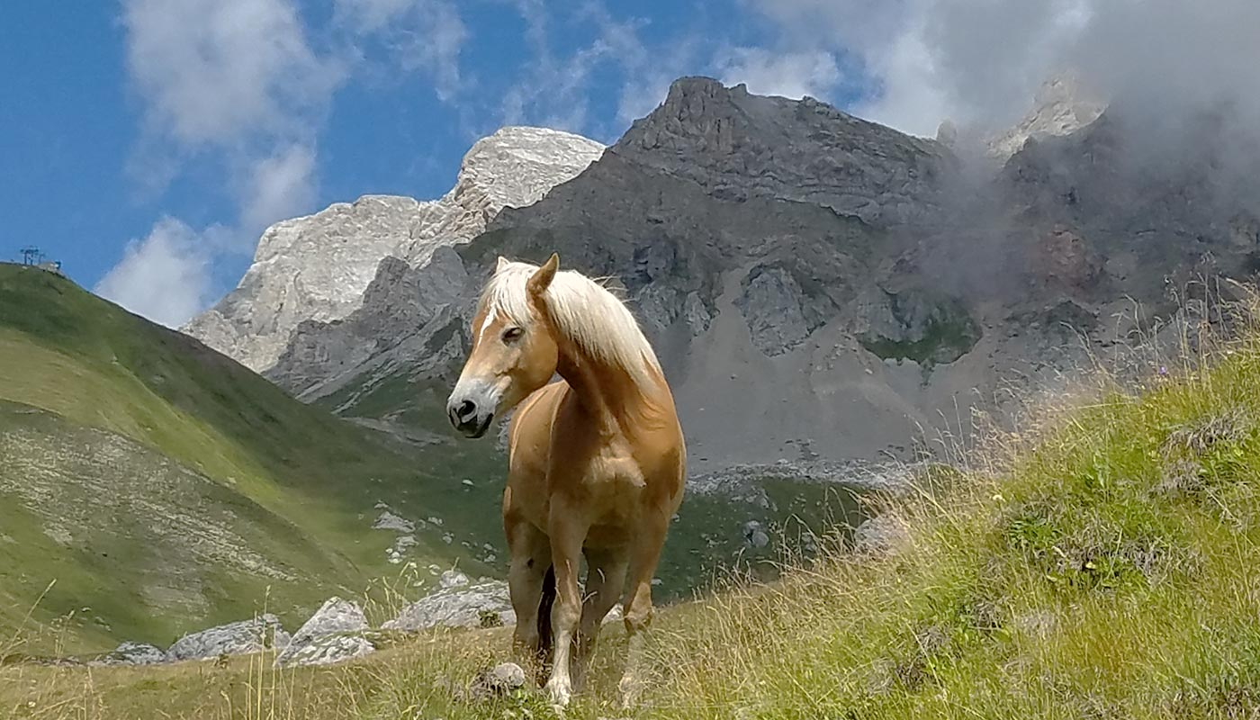 Detail of a horse in the meadows of Val d'Ega in South Tyrol
